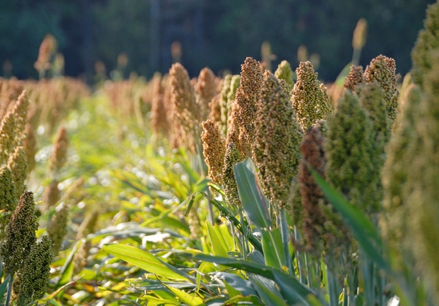 sorghum-full-bloom.jpg