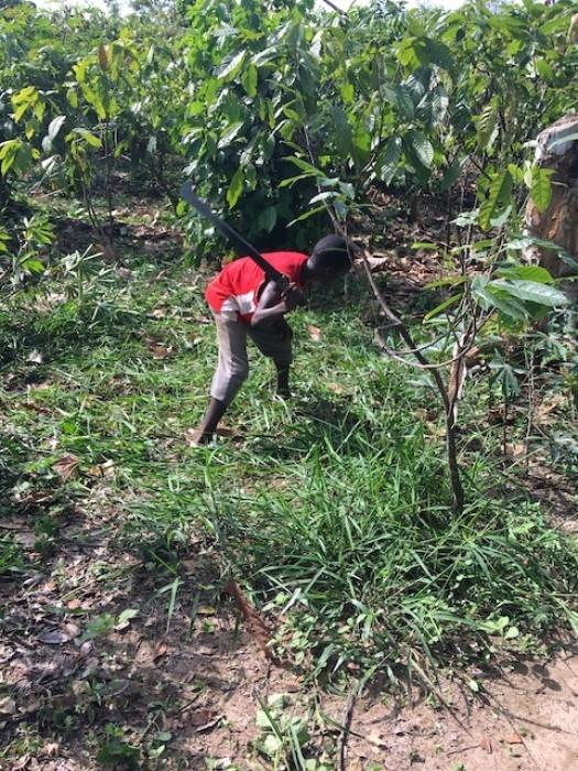 Child labour on cocoa plantation, Côte d'Ivoire. Credit: International Rights Advocates